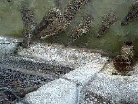 Porno Cuba Matanzas due cagnolini amoreggiano con i coccodrilli
