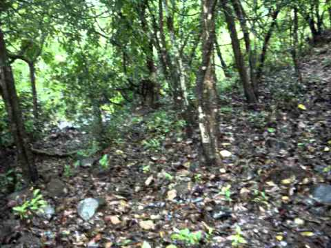 """SACRED FOREST"" in Shiroli(Konkan Maharashtra)IMGP3378.AVI"