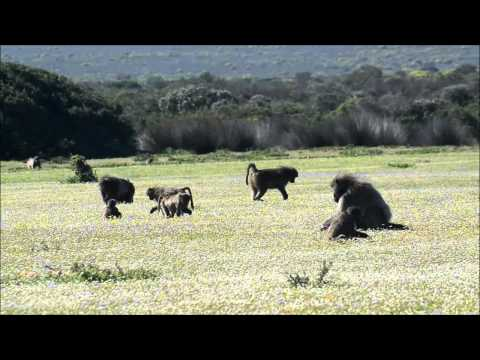 Chacma Baboon feeding in De Hoop Nature Reserve