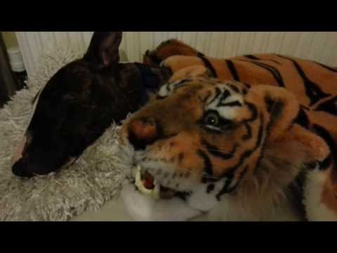 My Girl Brindle English Bull Terrier Dog Sleeping Like A Angel With Her Tiger Friend video