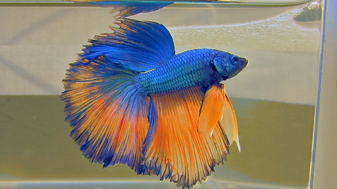 The bettas4all standard incl gallery of over 40 siamese for Why do betta fish fight