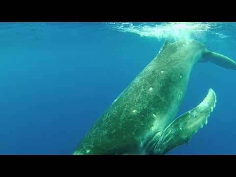 Tongan Whale Play