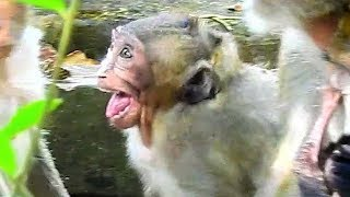 Sweet Pea Monkey Cry Loudly Cos Angry Mum, Spoil Monkey Jealous Baby Lori