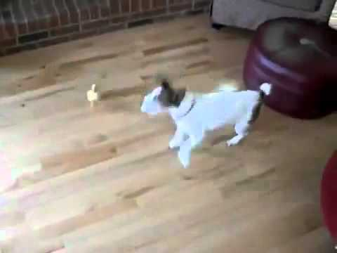 Duck Imprinting on Dog Little Duck Chases Dog