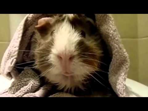 Pet Interviews - Guinea Pig