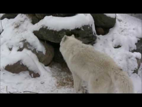 Snow on the Ground Creates Strong Scents and Active Wolves Video