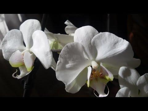 Фаленопсисы. Начало цветения.