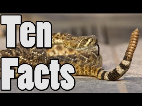Rattlesnake Facts And Information Rattlesnake 10 Facts About