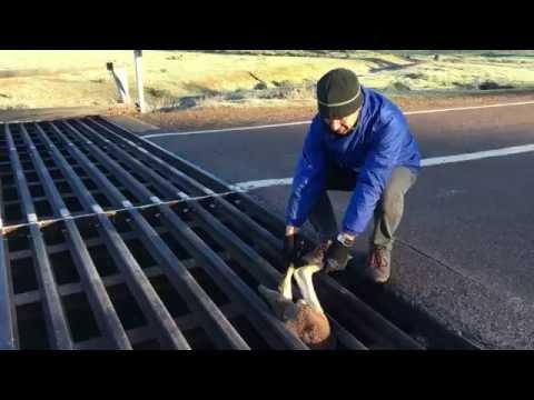 何故にハマった!?道路の隙間に挟まって完全に動けなくなったカンガルーを救助