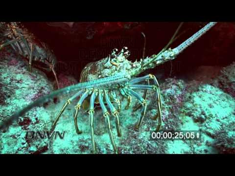 7/31/2010 HD Lobster footage close up