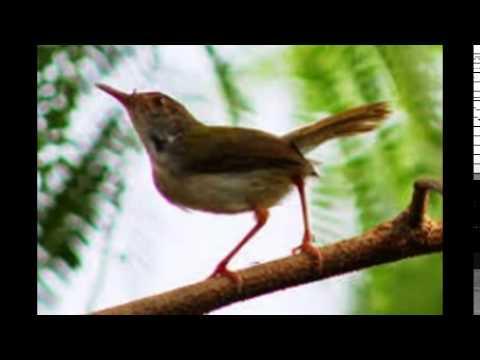 Kicau Burung Prenjak Juara Lomba video