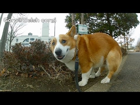 Goro can not poo. 20130209 Goro@Welsh corgi コーギー