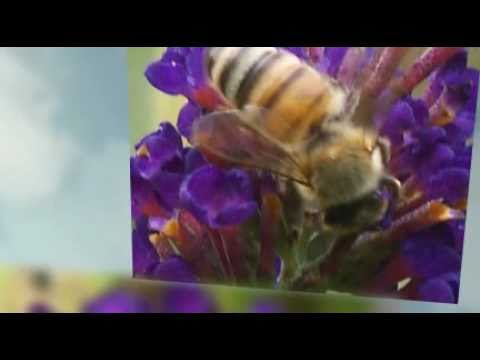 The Honey Bee Mystery Crisis Colony Collapse Disorder CCD set to Pavane by Ray Lynch