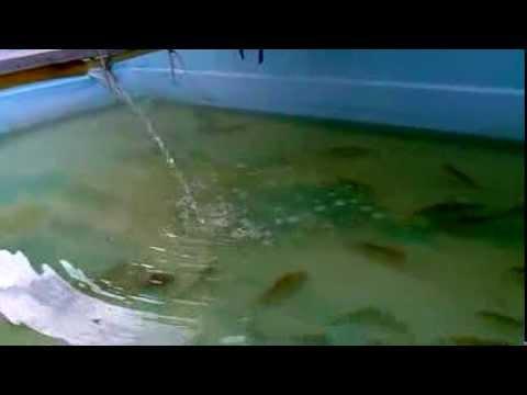 Cria o de til pias em casa piscina 2 acrescentando mais Piscinas para tilapias