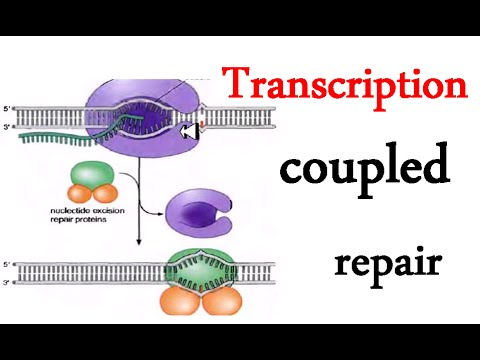 Transcription coupled repair