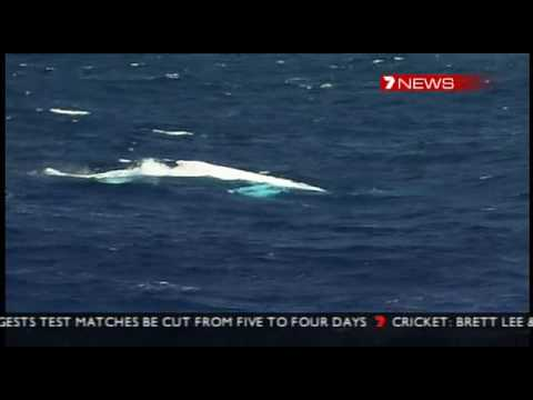 Migaloo the white whale returns