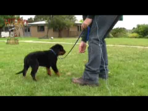 Dog Training-teaching A Puppy To Come And Walk On Lead Www.sidneyaarons.au video