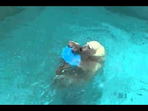 浜松市動物園 プールで遊ぶホッキョクグマのキロル-午後編-