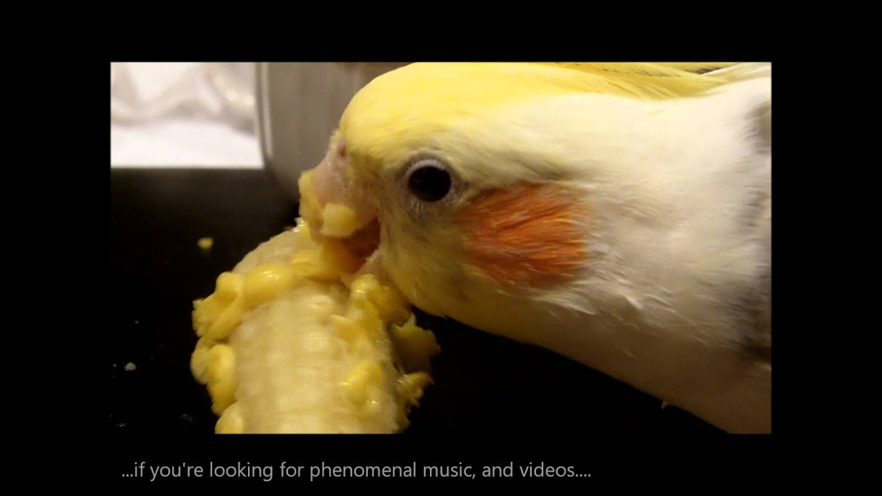 Funny cockatiel such a funny silly pet video with peaches youtube