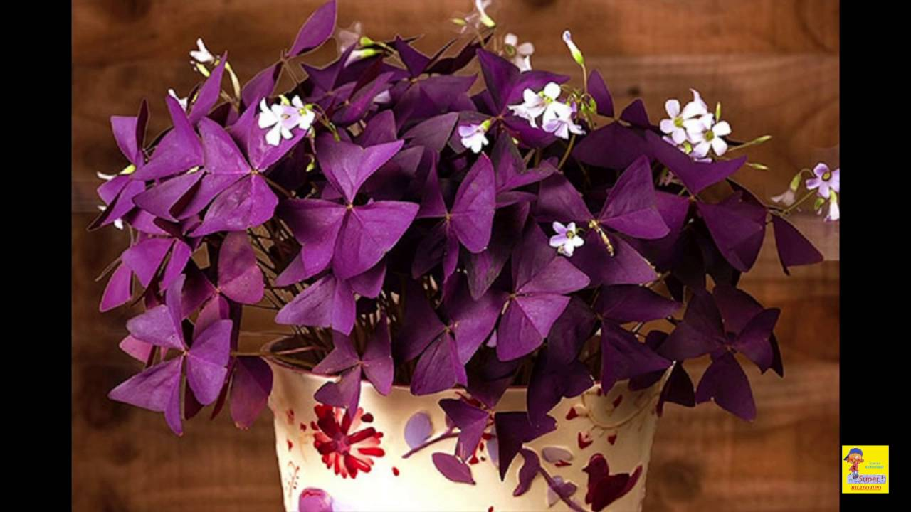 Домашний цветок оксалис фото уход