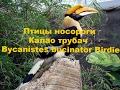 Птичка Птицы носороги Калао трубач Bycanistes Bucinator Birdie mp3