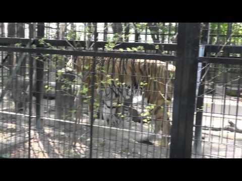 2011年5月26日 おびひろ動物園 アムールトラのタツオ1