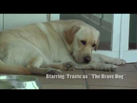 Smart Cute Labrador Dog defending the house against a