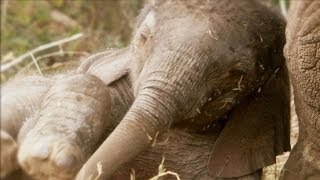 African Baby Elephants | Amazing Animal Babies | Earth Unplugged