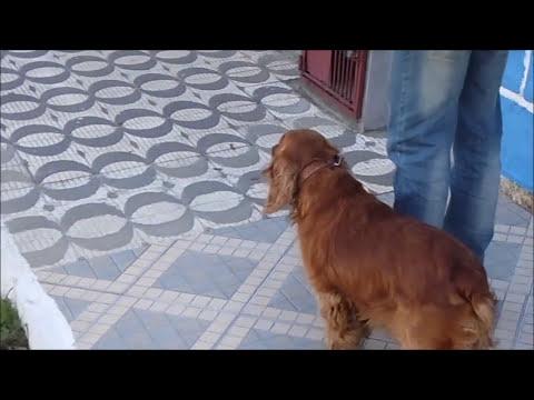 Adestramento de cães - Curso gratuito - Vídeo Aula 03 -  Com: Prof. Rafael Guarapa