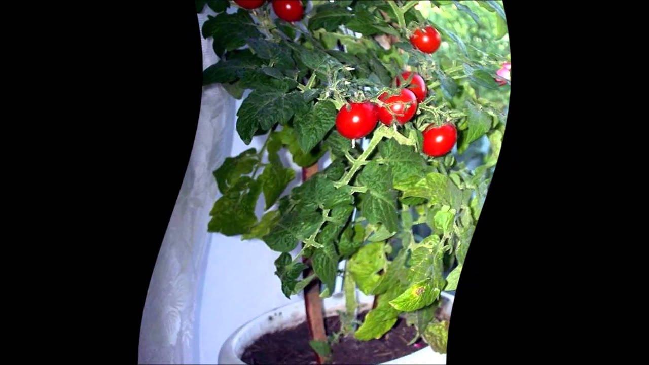 Выращивание томатов на подоконнике зимой Посадка и уход за 90
