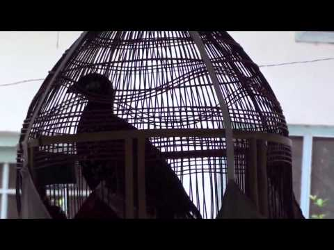 Black Francolin Kala Teetar, Morning Performance Pt-2 video