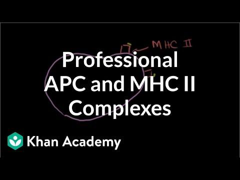 Professional Antigen Presenting Cells (APC) and MHC II complexes