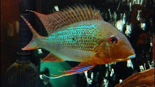 Adult Geophagus Surinamensis - Redstriped Eartheater - 125 gallon