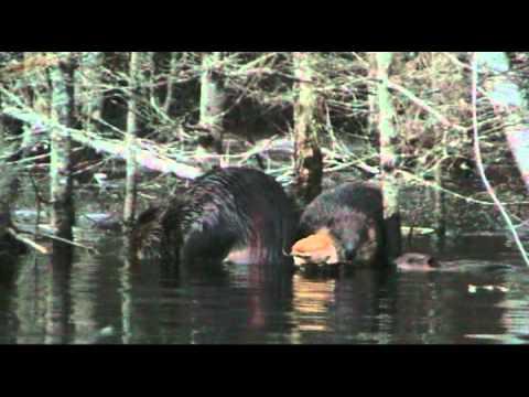 Beaver family dinner