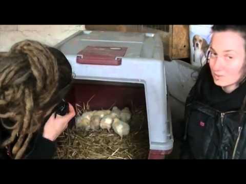 Basta! Szczecińska Inicjatywa Na Rzecz Zwierząt Ratuje Kurczaki