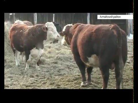 За что ценят коров Алтайского района и как они зимуют