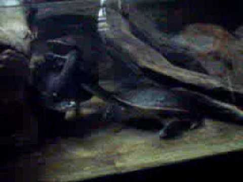 Roti Island Snake-necked Turtles trying to mate Video