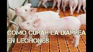 Como curarles la diarrea a los cerdos - remedios medicinales y caceros Luis Alberto