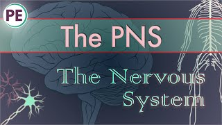 The Nervous System: Peripheral Nervous System (PNS)