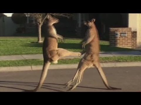 Thumbnail image for 'Kangaroo Street Fight'