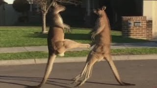 Kangaroos take their fight to the street
