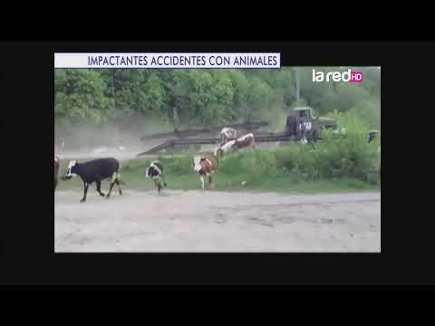 Impactantes accidentes con animales: Situaciones peligrosas que podrían terminar en tragedia