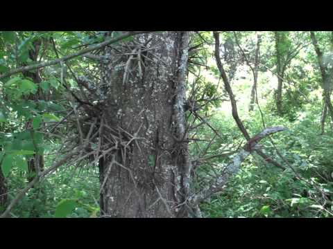 Eastern Woodland Trees and their Uses 1
