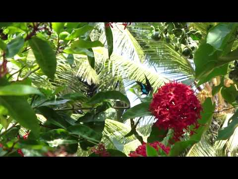 Sri Lankan Blue Swallowtail Imbibing. video