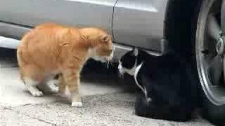Thumb El gato más enojado del mundo discute con su gata