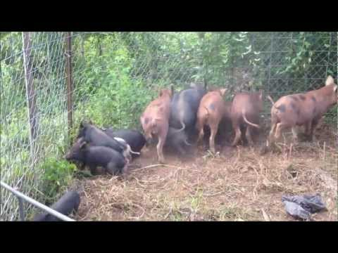 Trapping Wild Pigs: The Importance of Well Built Traps