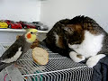 Cockatiel singing to a cat
