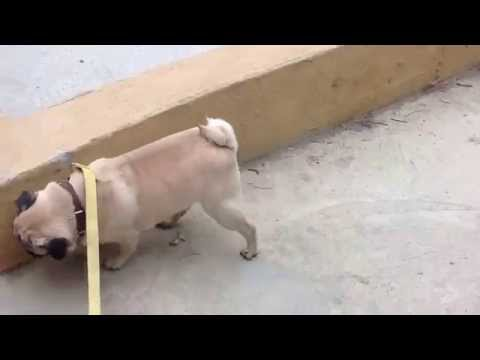 Frankie the pug walking on his front legs! Мопс ходит на передних лапах!
