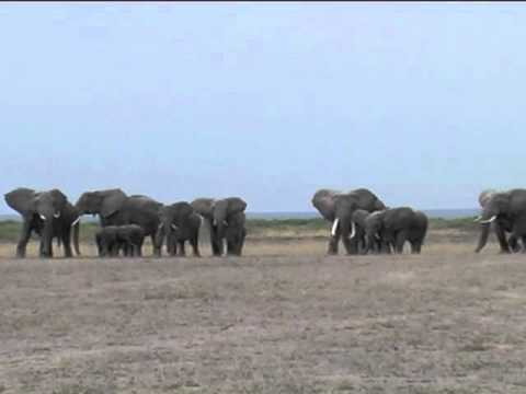 Elephants react to the recorded roar of a lion