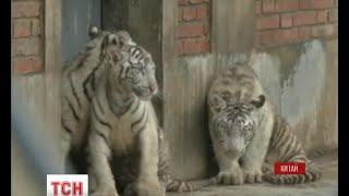 Трійня рідкісних білих бенгальських тигренят із китайського зоопарку відзначила перші сто днів - (видео)